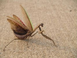 getting tired of the mantis? by Irie-Stock