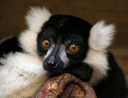Lemur eyes by Henrieke