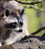Raccoon by CaryAndFrankArts