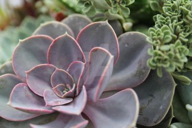 Succulents 5 by ChinookDesigns
