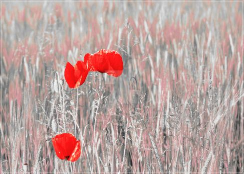 Poppies field I by Lileya