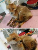 Young Red Fox Lifesize Mount WIP by DeerfishTaxidermy