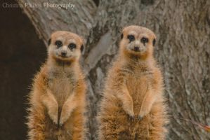Meerkats-3520 by Christina-Phillips