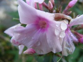 waterdrops on a flower by BlueIvyViolet