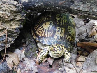 Hoosier Box Turtle by Lady-Xythis