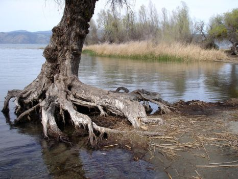 Old Tree at Lake: Stock Image by AskGriff