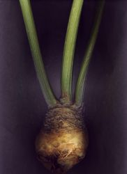 Celery Root No.2 by kparks