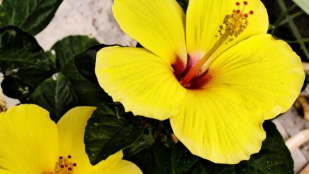 Yellow hibiscus by herbalcell