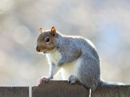 Eastern gray squirrel 40 by EasternGraySquirrel