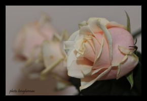 roses by liviugherman