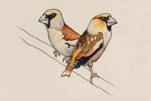Illustration - Hawfinch Pair by pocko-85