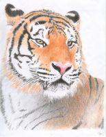 Tiger Colored Pencil by mikebontoft
