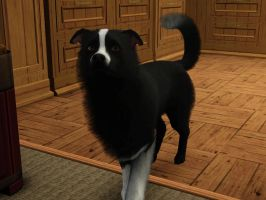 Border Collie Sims 3 Pets by huntinlabs