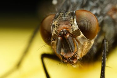 Fly Portrait 2 by Alliec