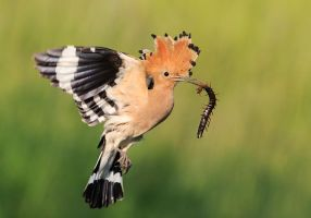 Hoopoe with scolopendra by BogdanBoev