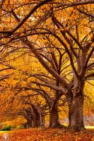 Autumn Gold by JustinDeRosa