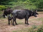Buffalo baby and mother. SL by jennystokes
