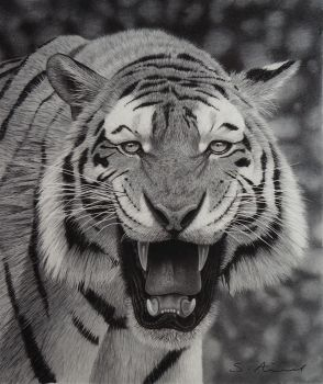 Tiger growling in Pencil by StephenAinsworth