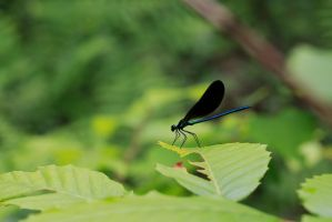 Damselfly by BlackRoomPhoto