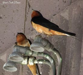 Barn Swallow by Soll-DenneGallery