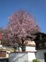 Bloodplum Tree in Spring by MichaFire