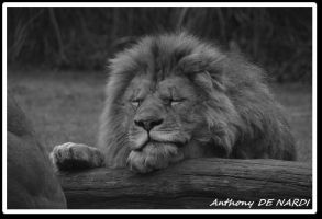 Sleeping lion by swell56