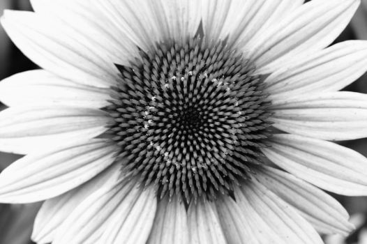 Flower (black and white) by bbrownie97