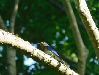 Barrens Bluebird 3 by Lady-Xythis