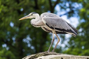 Grey heron by paschlewwer