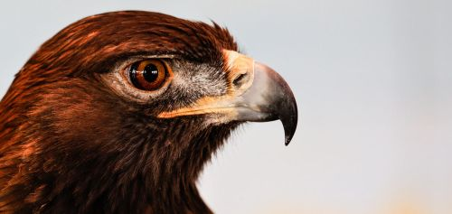 Golden Eagle With Room Reflecting by AugenStudios