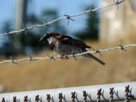 Jail Break House Sparrow by wolfwings1