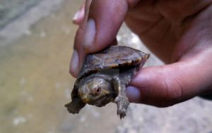 Baby turtle by Guadisaves02