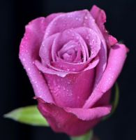 Pink Rose4 by tanzenderengel