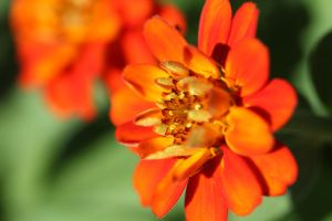 Orange zinnia 1 by greyrowan