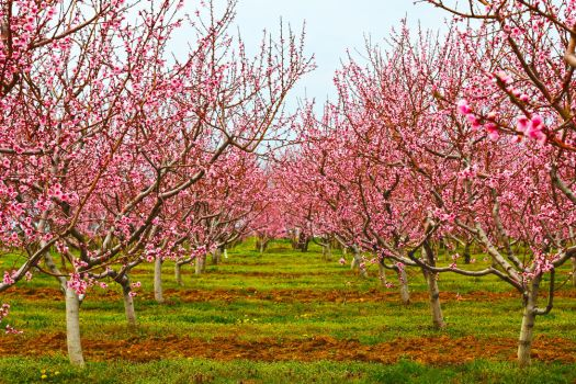 Pink Orchard by Shouldofducked