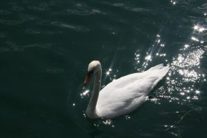 view  to swan at lake by ingeline-art