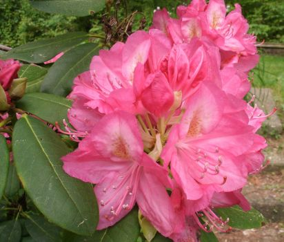 Pink Rhododendron II by SacredJourneyDesigns
