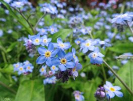 forget-me-nots by kiwipics