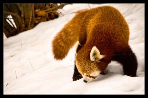 Red Panda: Sniff by Flame-of-the-Phoenix
