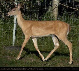 Whitetail Doe 6 by SalsolaStock