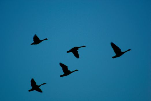 Goose Flight by Nattgew