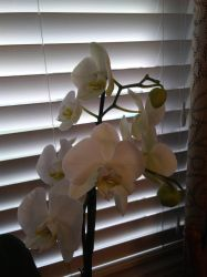 White Orchids by knighttemplar1