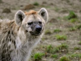Spotted Hyena by Tienna