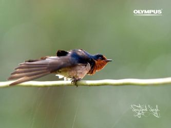 P4187847_Pacific Swallow by jitspics