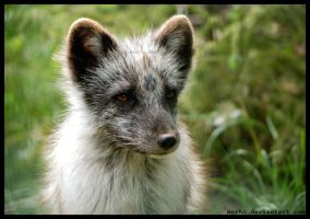 arctic fox by morho