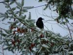Crow In Droopy Pinecones by wolfwings1