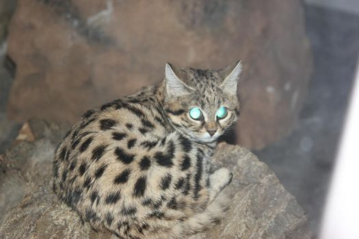Black-footed Cat 6 by Daikaiju-fanboy