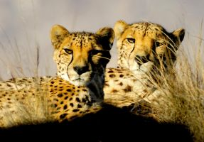 Cheetahs by morning light by Manyroomsphotography