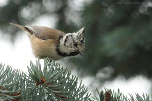 crested tit by unbelievablex