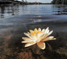 Water lily flower by Pajunen